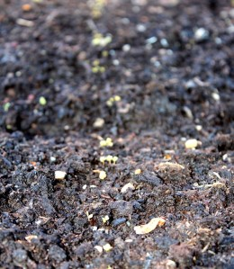 These seedlings (arugula) will do fine even though it was just below freezing this morning.