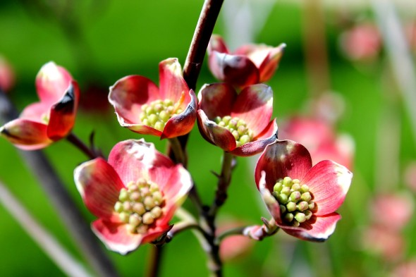 These pink dogwood are just opening.